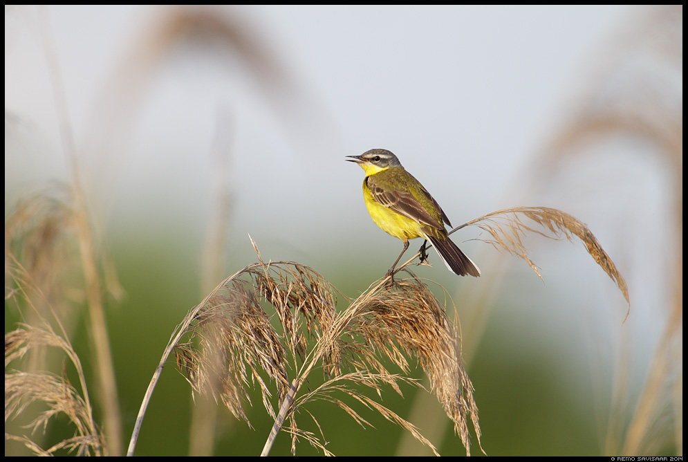 Hänilane, Yellow Wagtail, Motacilla flava Remo Savisaar Eesti loodus  Estonian Estonia Baltic nature wildlife photography photo blog loodusfotod loodusfoto looduspilt looduspildid