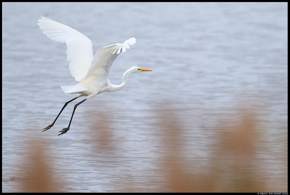 Hõbehaigur, Great White Egret, Egretta alba Estonia Baltic nature wildlife photography photo blog loodusfotod loodusfoto looduspilt looduspildid