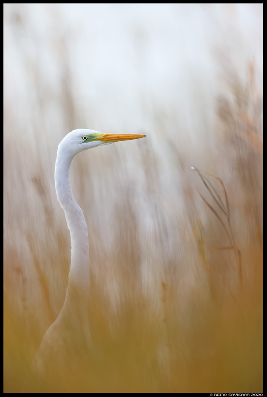 Hõbehaigur, Great White Egret, Egretta alba Remo Savisaar Eesti loodus Estonian Estonia Baltic nature wildlife photography photo blog loodusfotod loodusfoto looduspilt looduspildid landscape nature wild wildlife nordic