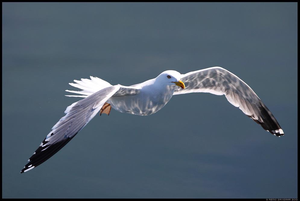 Päikesejänkud, Sparkling reflections Herring Gull, Hõbekajakas, Larus argentatus lake Baikal, Siberia, Russia Remo Savisaar nature wildlife photography photo blog loodusfotod loodusfoto looduspilt looduspildid