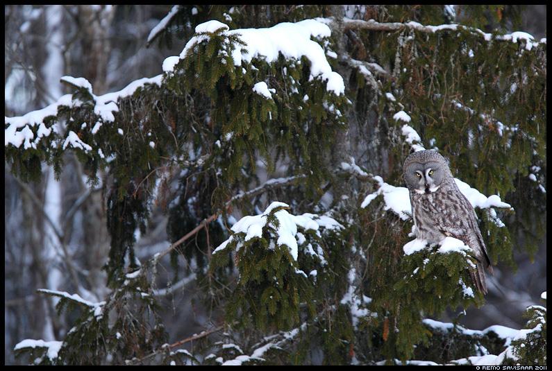 Lapi kakk - Habekakk, Great Grey Owl, Strix nebulosa, kuusk