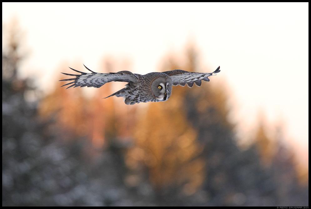 Habekakk, Great Grey Owl, Strix nebulosa Alutaguse rahvuspark, Alutaguse National Park Remo Savisaar Eesti loodus Estonian Estonia Baltic nature wildlife photography photo blog loodusfotod loodusfoto looduspilt looduspildid