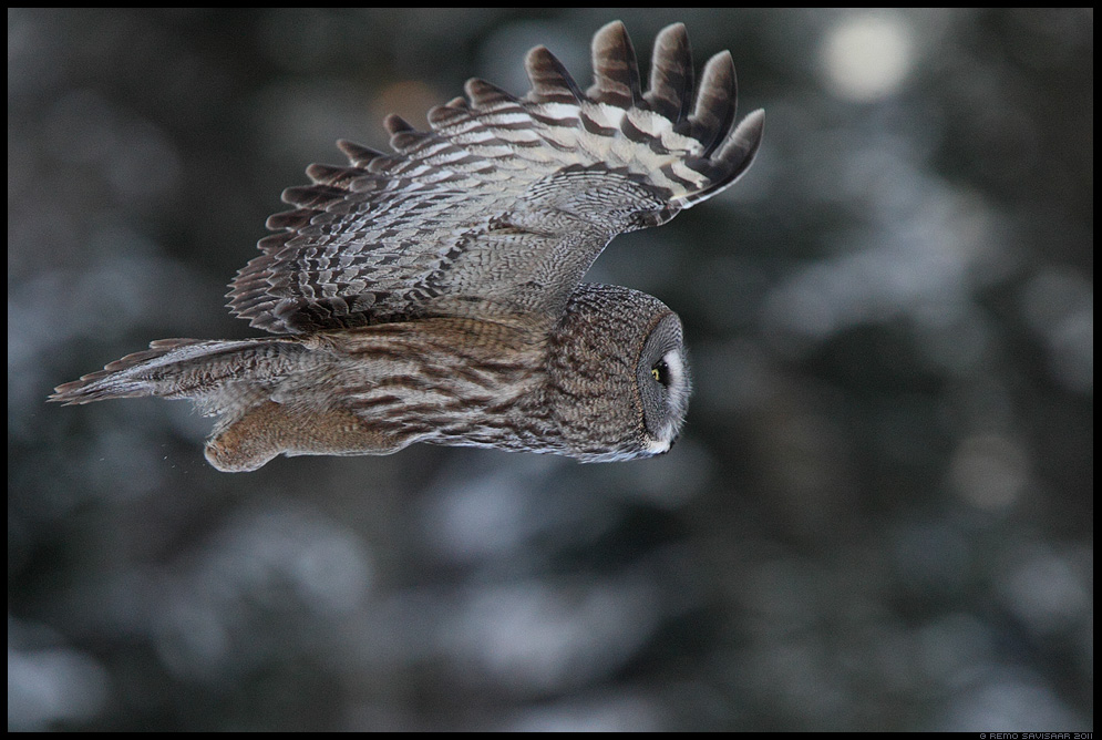 Habekakk, Great Grey Owl, Strix nebulosa Remo Savisaar Eesti loodus Estonian Estonia Baltic nature wildlife photography photo blog loodusfotod loodusfoto looduspilt looduspildid