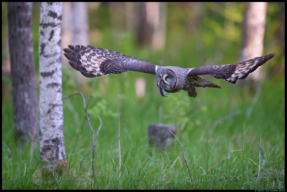 Habekakk, Great Grey Owl, Strix nebulosa Alutaguse Remo Savisaar Eesti loodus Estonian Estonia Baltic nature wildlife photography photo blog loodusfotod loodusfoto looduspilt looduspildid