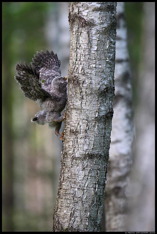 Habekakk, Great Grey Owl, Strix nebulosa auhinnatud winner Alutaguse Remo Savisaar Eesti loodus Estonian Estonia Baltic nature wildlife photography photo blog loodusfotod loodusfoto looduspilt looduspildid