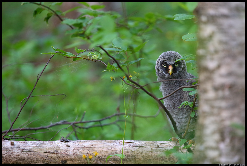 Habekakk, Great Grey Owl, Strix nebulosa Alutaguse metskond Remo Savisaar Eesti loodus Estonian Estonia Baltic nature wildlife photography photo blog loodusfotod loodusfoto looduspilt looduspildid