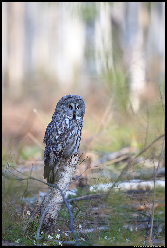 Habekakk, Great Grey Owl, Strix nebulosa Alutaguse Remo Savisaar Eesti loodus Estonian Estonia Baltic nature wildlife photography photo blog loodusfotod loodusfoto looduspilt looduspildid