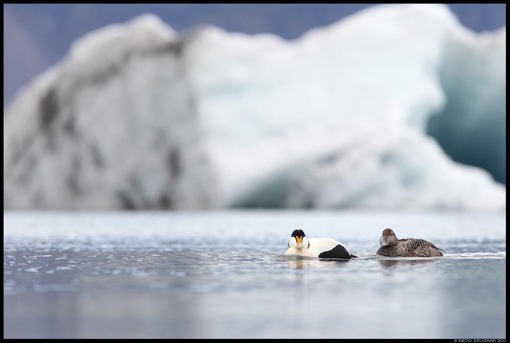 Island, Iceland, Jökulsárlón , Glacier Lagoon, glacier lake, Hahk, Eider, Somateria mollissima