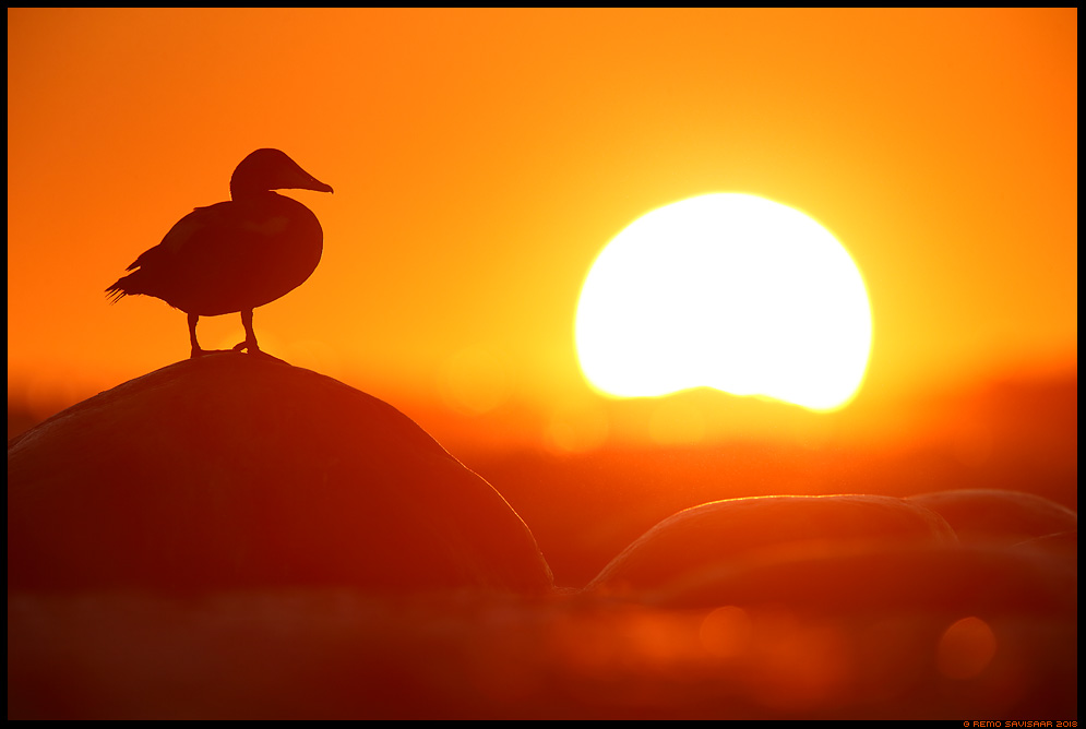 Hahk, Eider, Somateria mollissima päikeseloojang sunset meri hiiumaa kõpu Remo Savisaar Eesti loodus Estonian Estonia Baltic nature wildlife photography photo blog loodusfotod loodusfoto looduspilt looduspildid landscape nature wild wildlife nordic