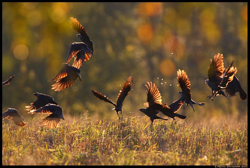 Hakk, Jackdaw, Corvus monedula, sügis, autumn, fall