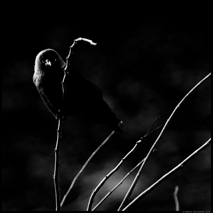 Hakk, Jackdaw, Corvus monedula Remo Savisaar mustvalge B+W B&W black and white Eesti loodus Estonian Estonia Baltic nature wildlife photography photo blog loodusfotod loodusfoto looduspilt looduspildid