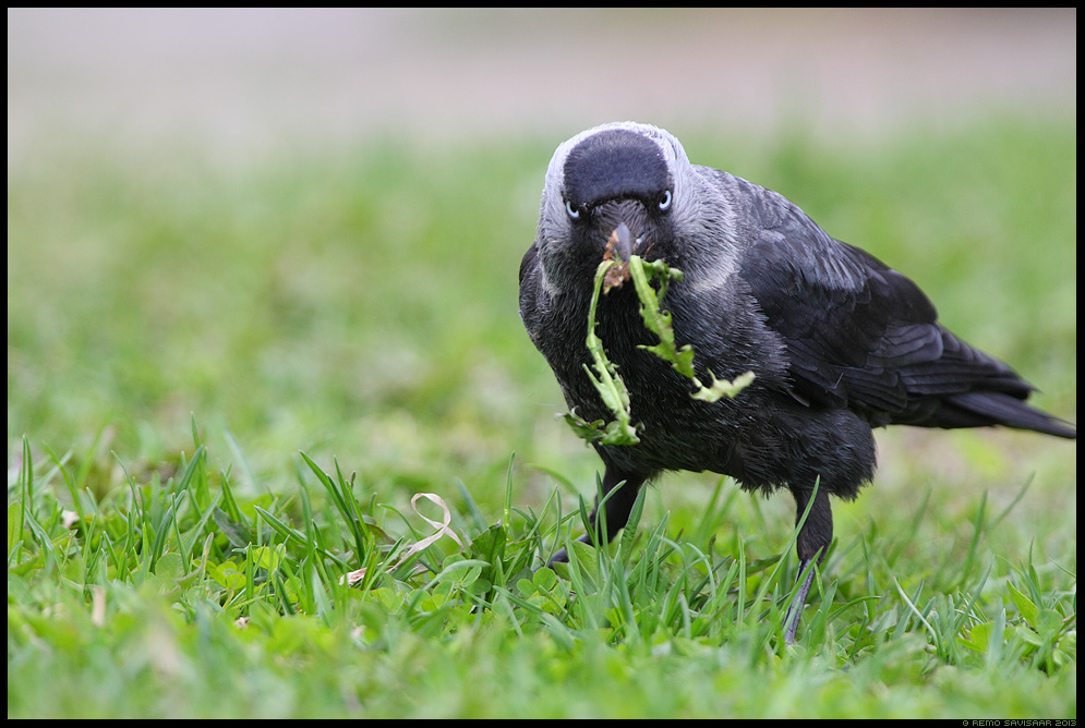 Taimetoitlane, Vegetarian, Hakk, Jackdaw, Corvus monedula  Remo Savisaar Eesti loodus  Estonian Estonia Baltic nature wildlife photography photo blog loodusfotod loodusfoto looduspilt looduspildid