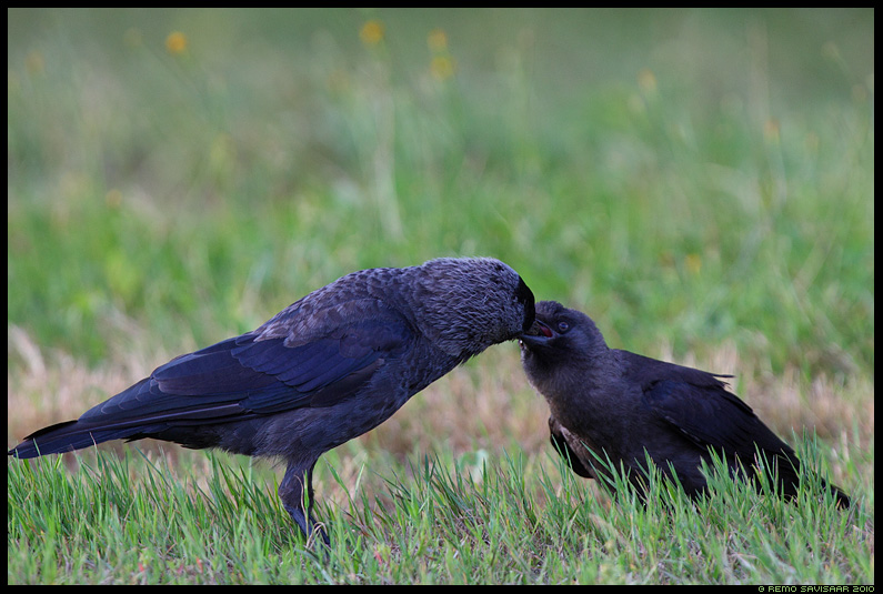 Hakk, Jackdaw, Corvus monedula