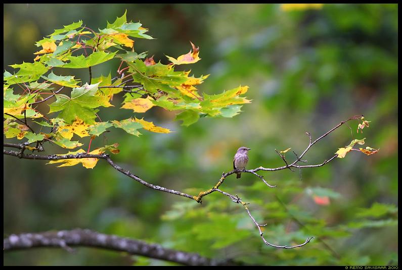 Hall-kärbsenäpp, Spotted flycatcher, Muscicapa striata