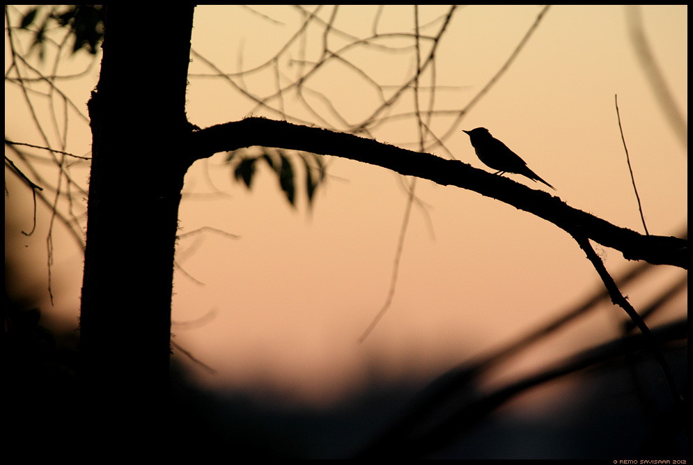 Hall-kärbsenäpp, Spotted flycatcher, Muscicapa striata, siluett, lind, õhtu, sunset