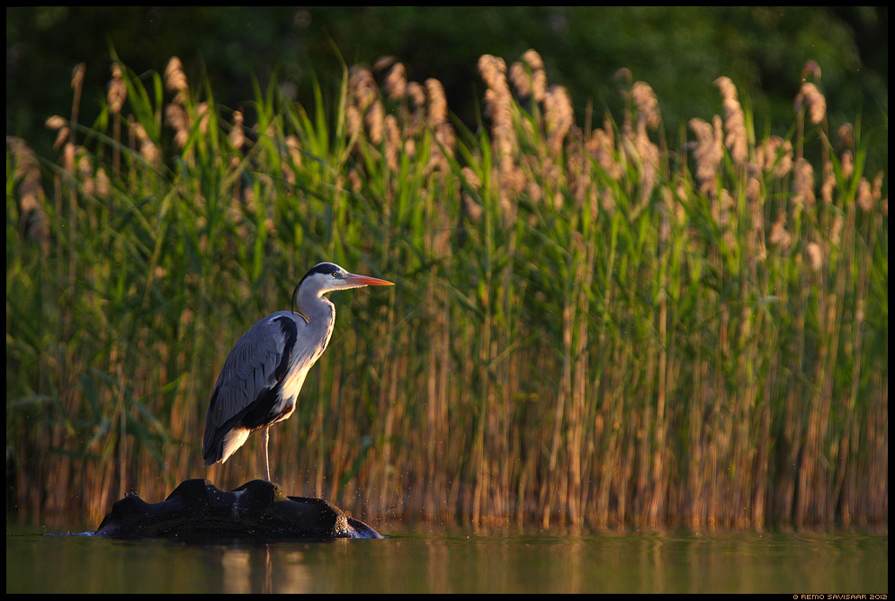 Hallhaigur, Grey Heron, Ardea cinerea vesi veekogu järv pilliroog Remo Savisaar Eesti loodus  Estonian Estonia Baltic nature wildlife photography photo blog loodusfotod loodusfoto looduspilt looduspildid