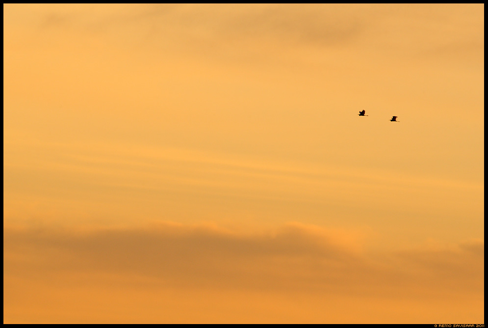 Hallhaigur, Grey Heron, Ardea cinerea, Taevarändurid, Sky Travellers, loojangutaevas, päikeseloojang, sunset, minimalism