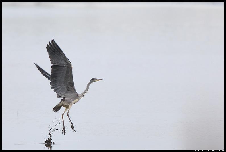 Hallhaigur, Grey Heron, Ardea cinerea