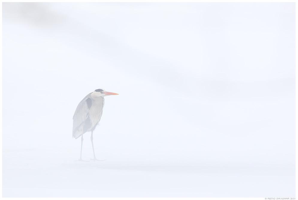Hallhaigur, Grey Heron, Ardea cinerea, märts, march, lumine, valge