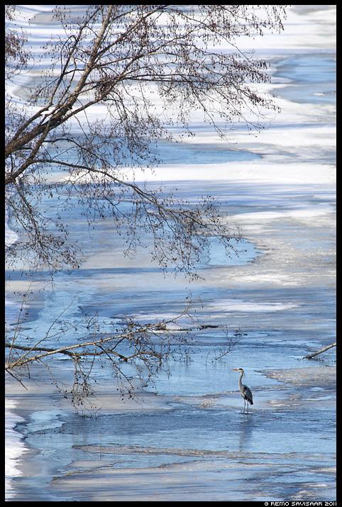 Hallhaigur, Grey Heron, Ardea cinerea, jõgi, jää, kevad
