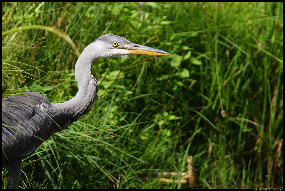 Hallhaigur, Grey Heron, Ardea cinerea Remo Savisaar Eesti loodus  Estonian Estonia Baltic nature wildlife photography photo blog loodusfotod loodusfoto looduspilt looduspildid
