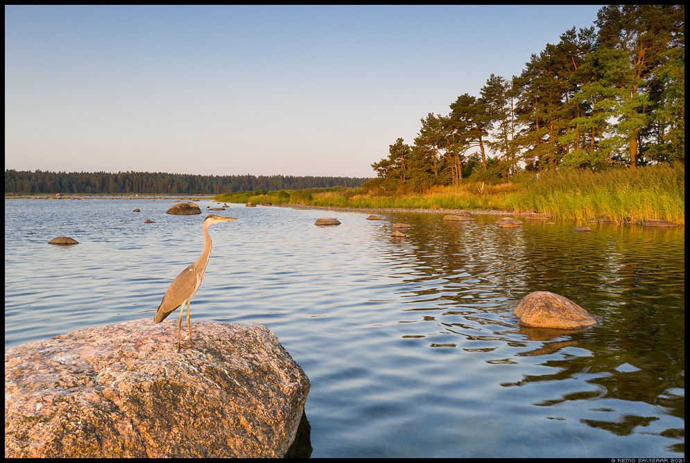 Hallhaigur, Grey Heron, Ardea cinerea Remo Savisaar Eesti loodus  Estonian Estonia Baltic nature wildlife photography photo blog loodusfotod loodusfoto looduspilt looduspildid