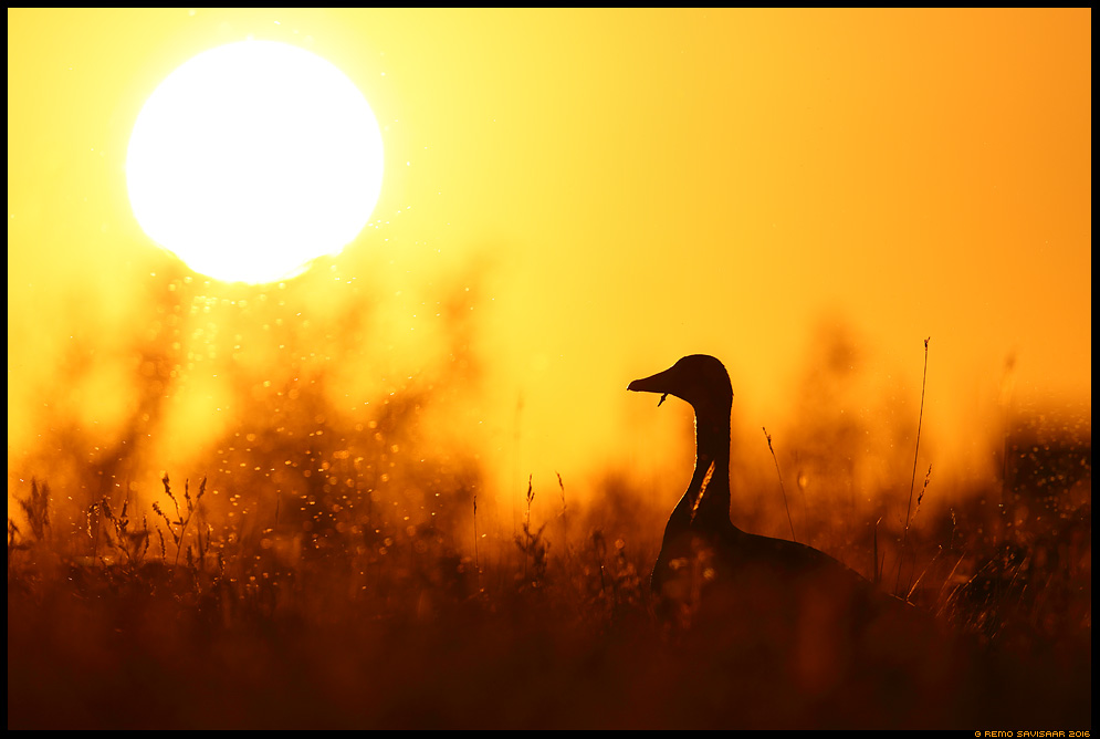 Hallhani, Greylag Goose, Anser anser päikeseloojang sunset suvi summer  Remo Savisaar Eesti loodus Estonian Estonia Baltic nature wildlife photography photo blog loodusfotod loodusfoto looduspilt looduspildid landscape nature wild wildlife nordic