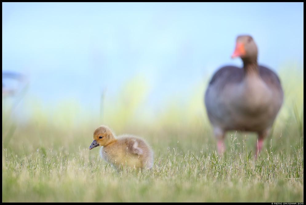 Hallhani, Greylag Goose, Anser anser  Remo Savisaar Eesti loodus Estonian Estonia Baltic nature wildlife photography photo blog loodusfotod loodusfoto looduspilt looduspildid