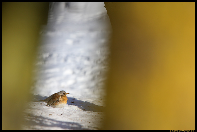 Hallrästas, Fieldfare, Turdus pilaris, talv, lumi, veebruar