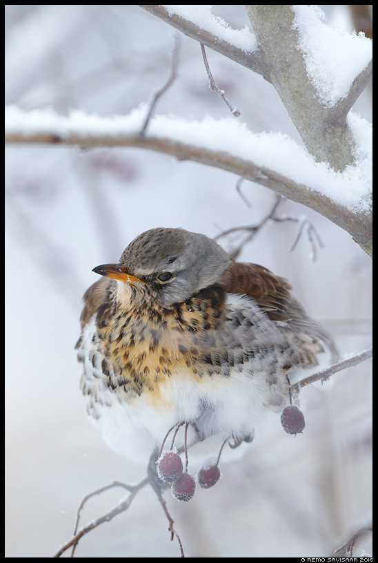 Hallrästas, Fieldfare, Turdus pilaris  Remo Savisaar Eesti loodus Estonian Estonia Baltic nature wildlife photography photo blog loodusfotod loodusfoto looduspilt looduspildid