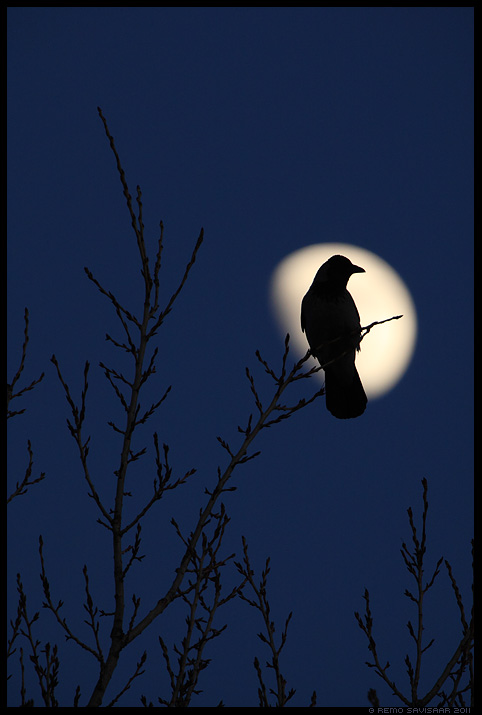 Hallvares, Hooded Crow, Corvus corone cornix, Must lind, Black bird, kuu, öö, hämar, pime, meeleolu