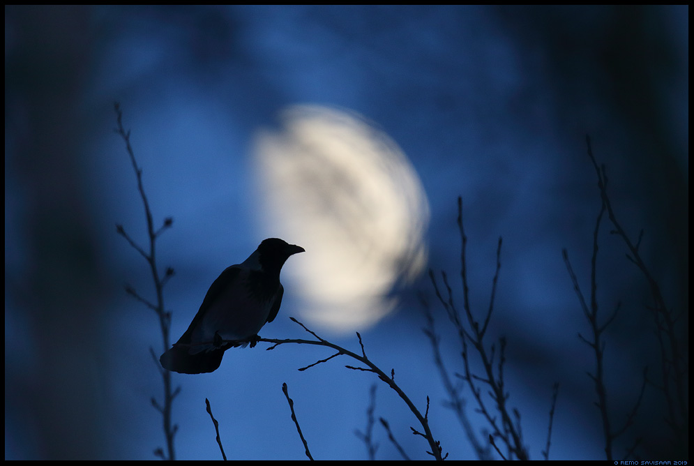 Kuutõus, Moonrise Hallvares, Hooded Crow , Corvus corone cornix  Remo Savisaar Eesti loodus Estonian Estonia Baltic nature wildlife photography photo blog loodusfotod loodusfoto looduspilt looduspildid landscape nature wild wildlife nordic