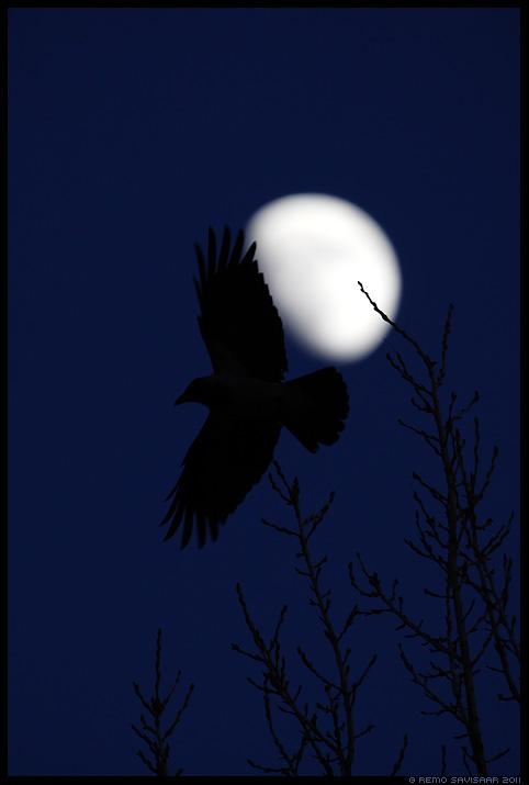 Hallvares, Hooded Crow, Corvus cornix, Corvus corone cornix, Must lind, Black bird, kuu, öö, hämar, pime, meeleolu
