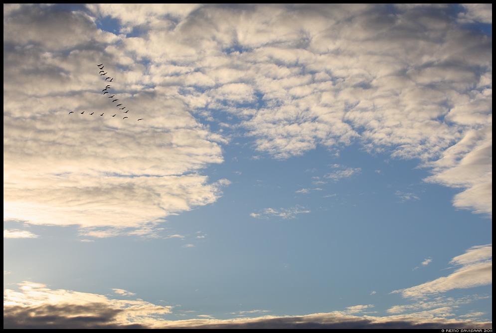 Haned, Wild Geese, hani, taevas, sky, pilved, lennu kolmnurk