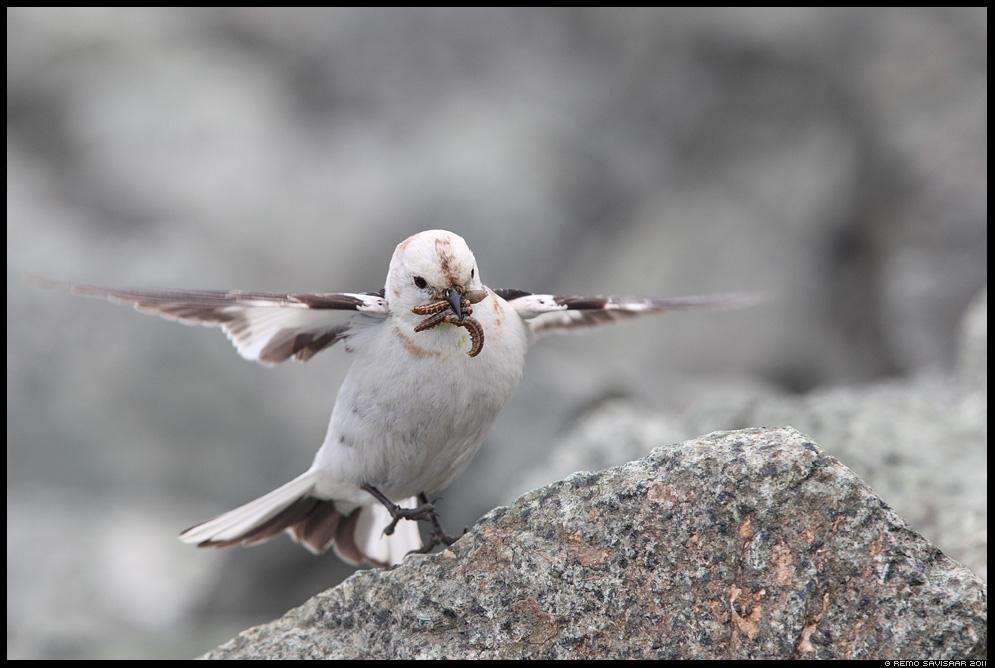 Island, Iceland, Hangelind, Snow bunting, Plectrophenax nivalis
