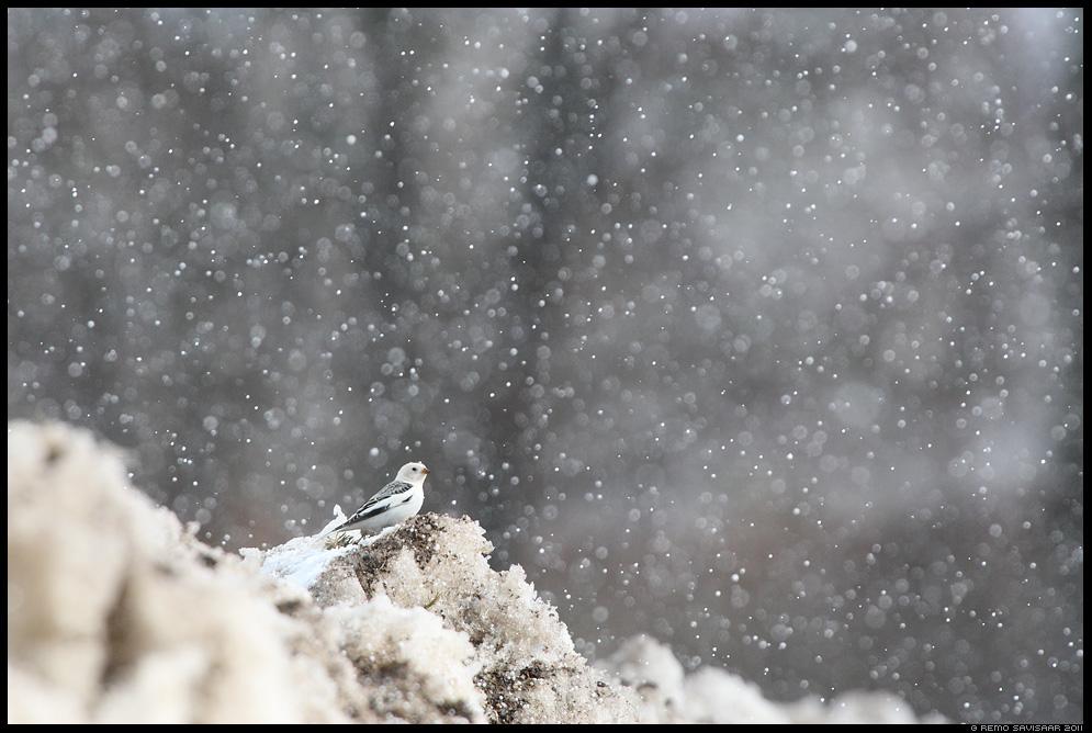 Hangelind, Snow bunting, Plectrophenax nivalis, rahe, rahesadu, talikülaline, talikülalised