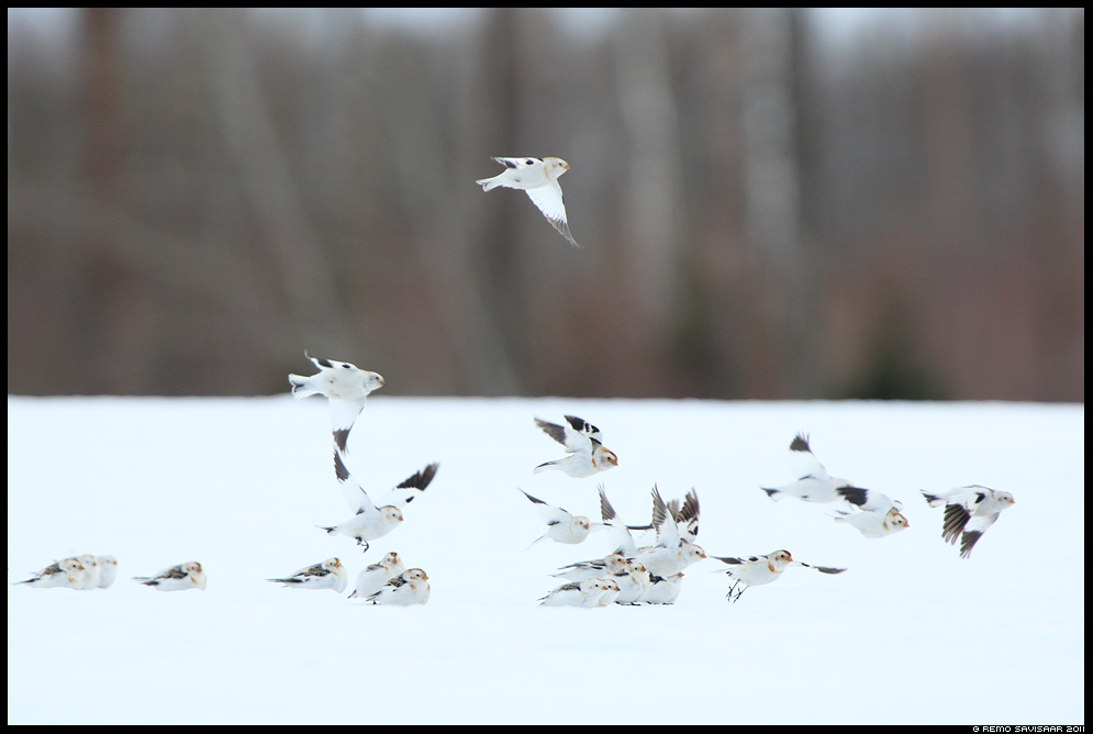 Hangelind, Snow bunting, Plectrophenax nivalis talikülaline Remo Savisaar Eesti loodus Estonian Estonia Baltic nature wildlife photography photo blog loodusfotod loodusfoto looduspilt looduspildid