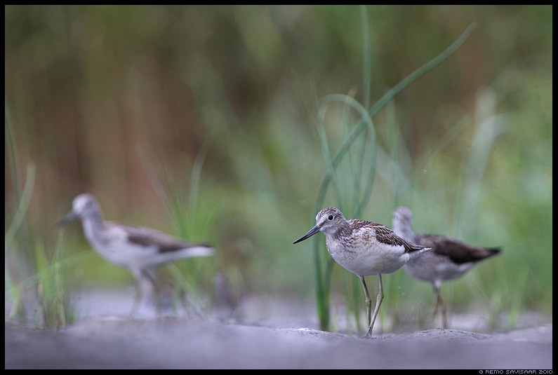 Heletilder, Common Greenshank, Tringa nebularia