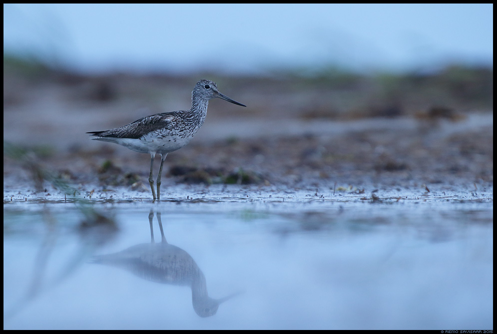 Heletilder, Common Greenshank, Tringa nebularia Remo Savisaar Eesti loodus Estonian Estonia Baltic nature wildlife photography photo blog loodusfotod loodusfoto looduspilt looduspildid landscape nature wild wildlife nordic