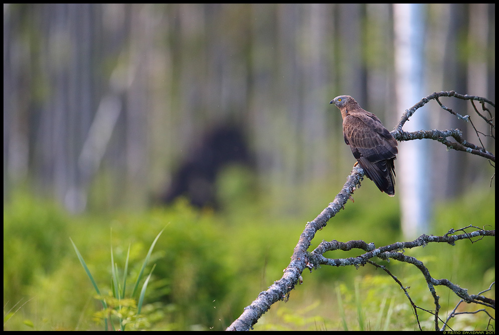 Herilaseviu, Honey-Buzzard, Pernis apivorus  Remo Savisaar Eesti loodus Estonian Estonia Baltic nature wildlife photography photo blog loodusfotod loodusfoto looduspilt looduspildid landscape nature wild wildlife nordic