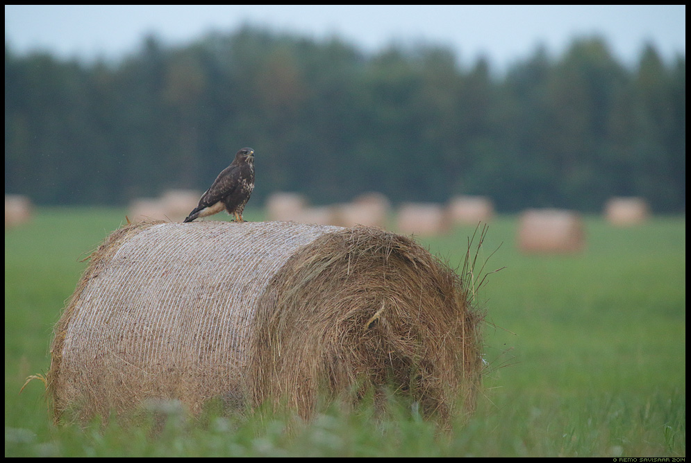 Hiireviu, Common Buzzard, Buteo buteo heinamaa heinapallid Remo Savisaar Eesti loodus  Estonian Estonia Baltic nature wildlife photography photo blog loodusfotod loodusfoto looduspilt looduspildid
