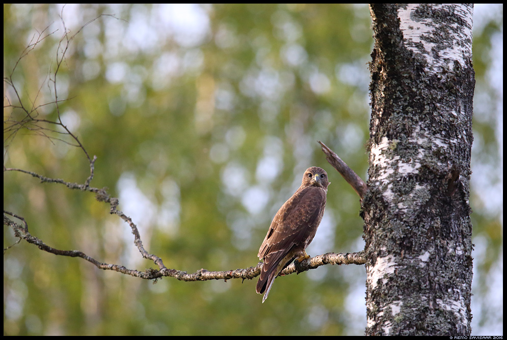 Hiireviu, Common Buzzard, Buteo buteo  Remo Savisaar Eesti loodus Estonian Estonia Baltic nature wildlife photography photo blog loodusfotod loodusfoto looduspilt looduspildid landscape nature wild wildlife nordic