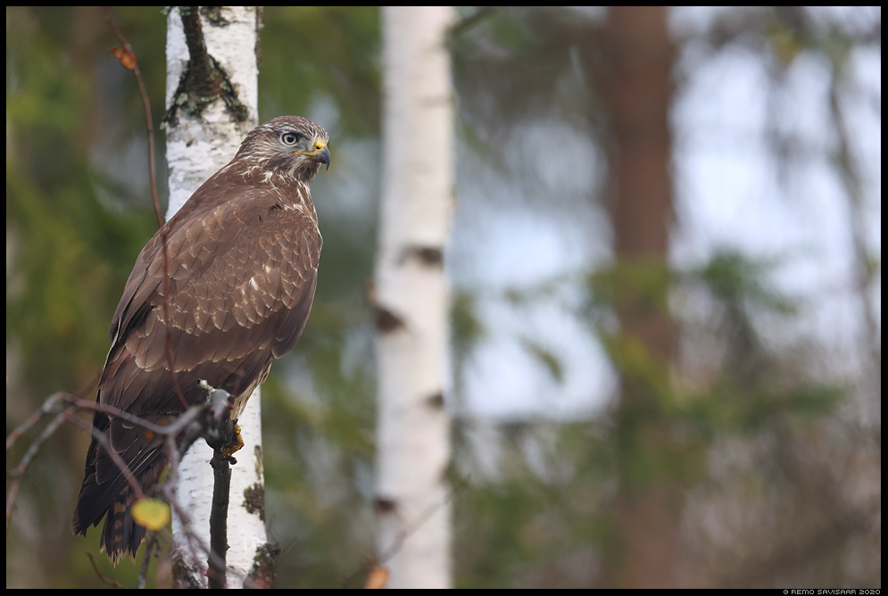 Hiireviu, Common Buzzard, Buteo buteo Remo Savisaar Eesti loodus  Estonian Estonia Baltic nature wildlife photography photo blog loodusfotod loodusfoto looduspilt looduspildid
