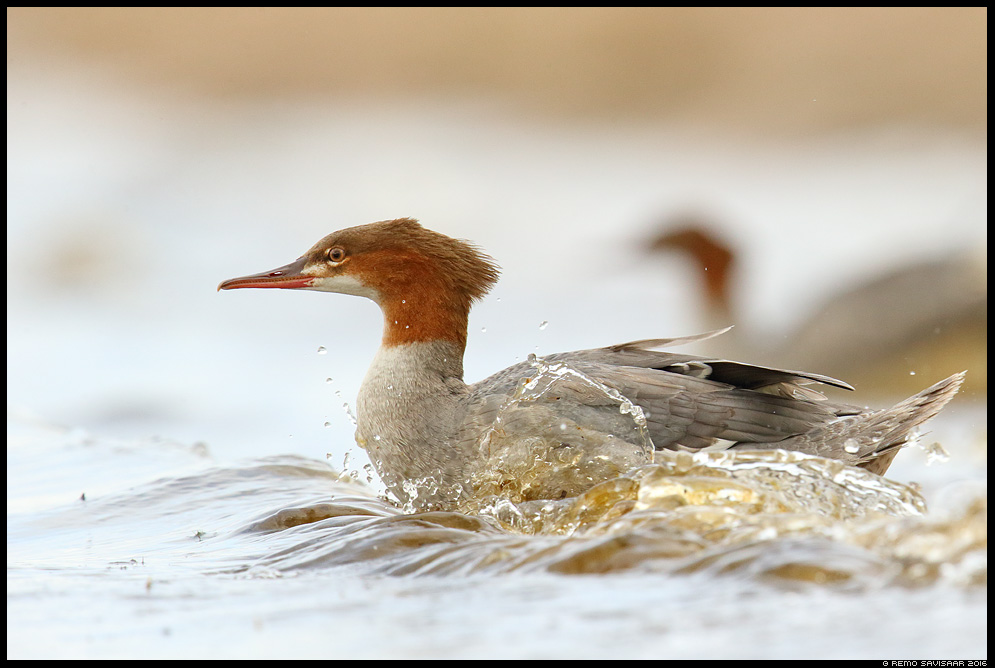 Jääkoskel, Goosander, Mergus merganser Lainemurdja, The Wave Breaker Remo Savisaar Eesti loodus  Estonian Estonia Baltic nature wildlife photography photo blog loodusfotod loodusfoto looduspilt looduspildid