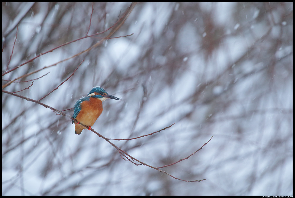 Jäälind, Kingfisher, Alcedo atthis lumesadu snowfall Remo Savisaar Eesti loodus  Estonian Estonia Baltic nature wildlife photography photo blog loodusfotod loodusfoto looduspilt looduspildid