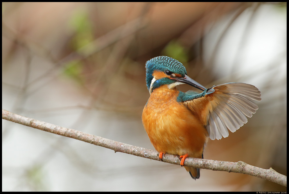 Jäälind, Kingfisher, Alcedo atthis Remo Savisaar Eesti loodus  Estonian Estonia Baltic nature wildlife photography photo blog loodusfotod loodusfoto looduspilt looduspildid