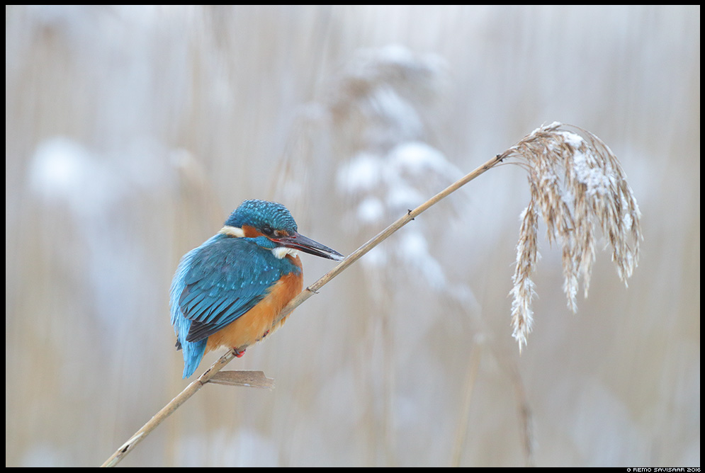 Jäälind, Kingfisher, Alcedo atthis talv härmatis winter wintering Remo Savisaar Eesti loodus  Estonian Estonia Baltic nature wildlife photography photo blog loodusfotod loodusfoto looduspilt looduspildid