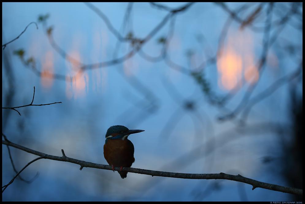 Jäälind, Kingfisher, Alcedo atthis Remo Savisaar Eesti loodus  Estonian Estonia Baltic nature wildlife photography photo blog loodusfotod loodusfoto looduspilt looduspildid