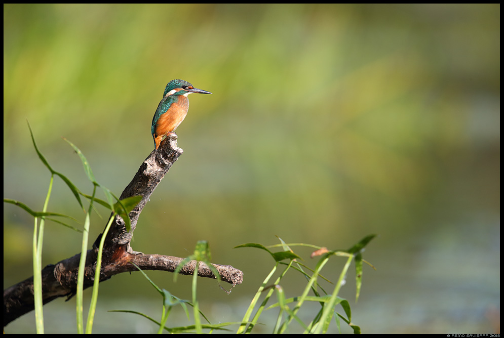 Jäälind, Kingfisher, Alcedo atthis sügis autumn river Remo Savisaar Eesti loodus  Estonian Estonia Baltic nature wildlife photography photo blog loodusfotod loodusfoto looduspilt looduspildid