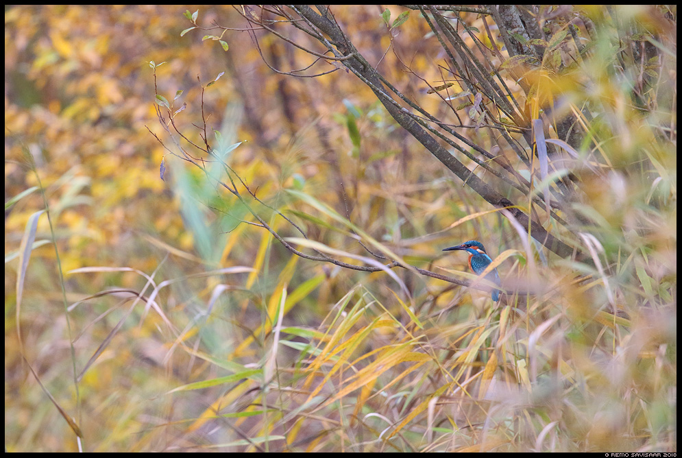 Jäälind, Kingfisher, Alcedo atthis sügis autumn Remo Savisaar Eesti loodus  Estonian Estonia Baltic nature wildlife photography photo blog loodusfotod loodusfoto looduspilt looduspildid